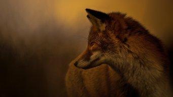 Foxliss