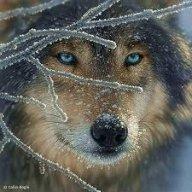 Одинокий Вовк